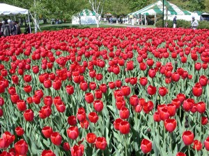 Tulips at the Canadian Tulip Festival in Ottawa