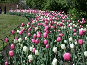 Gorgeous tulips at the Canadian Tulip Festival