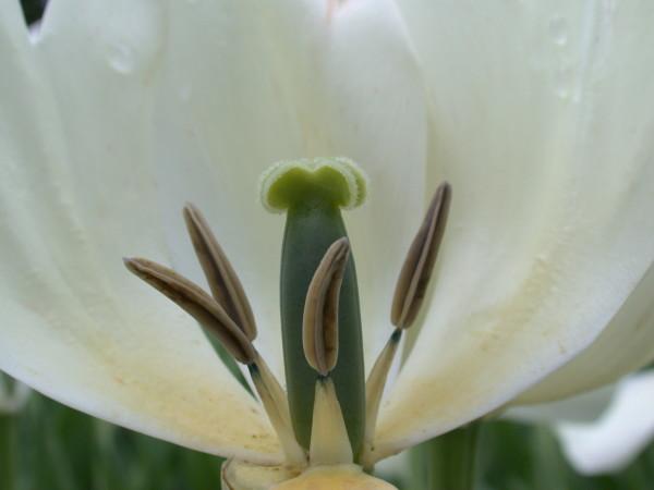 Single tulip at the Canadian Tulip Festival
