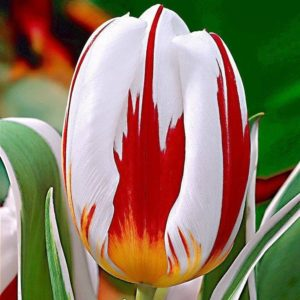 all-about-ottawa.com - canada tulip