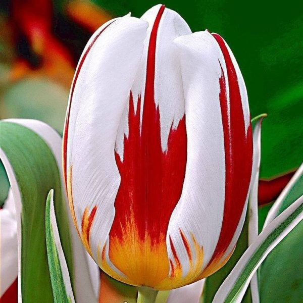 all-about-ottawa.com - canada 150 tulip